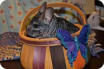 Chinchilla for Sale in Selden, New York - Smoochy
