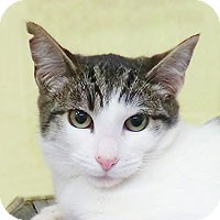 Domestic Shorthair Cat for adoption in Alameda, California - TOBIAS