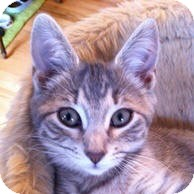 Domestic Shorthair Kitten for Sale in Albany, New York - Victoria