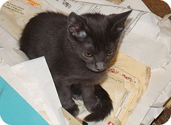 Russian Blue Kitten for Sale in Scottsdale, Arizona - Shauna