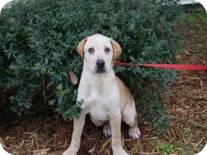 Labrador Retriever Dog for Sale in Oldsmar, Florida - Fowler