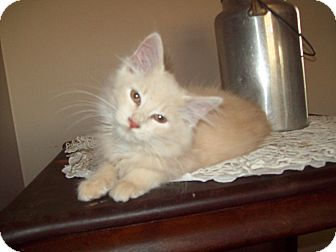 Domestic Longhair Kitten for Sale in Dover, Ohio - Butterscotch