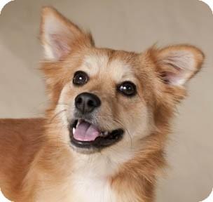 Looking for a Sheltie, Shetland Sheepdog/Pomeranian dog in Chicago for