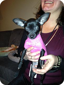 Chihuahua Mix Puppy for adption in Chicago, Illinois - Penelope