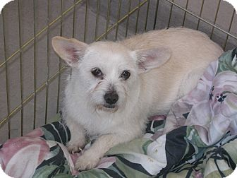 Terrier (Unknown Type, Small) Mix Dog for Sale in Las Vegas, Nevada - Makey