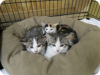 Calico Kitten for Sale in Sparta, New Jersey - Kittens