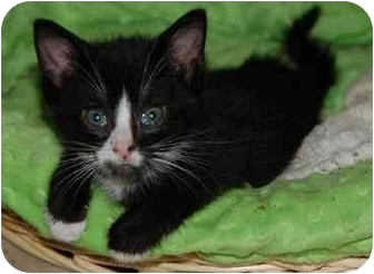 Domestic Shorthair Cat for adoption in Grafton, West Virginia - Cody