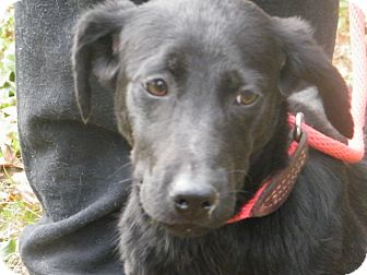 Labrador Retriever Mix Puppy for adption in cumberland, Rhode Island - Noel
