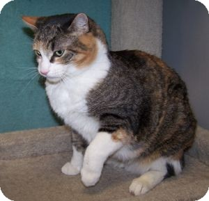 Domestic Shorthair Cat for Sale in Colorado Springs, Colorado - Gypsy