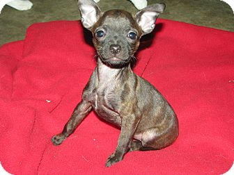 Boston Terrier/Chihuahua Mix Puppy for Sale in Somers, Connecticut - Bubbles - Such a character!
