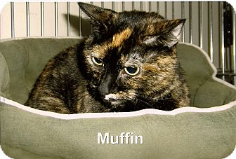 Domestic Shorthair Cat for Sale in Medway, Massachusetts - Muffin