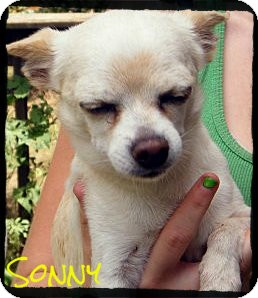 Chihuahua Mix Dog for Sale in manasquam, New Jersey - Sonny *Reduced Adoption Fee*