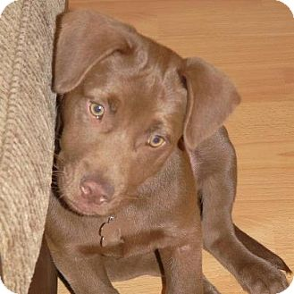 Labrador Retriever Mix Puppy for Sale in Porter, Texas - Milo