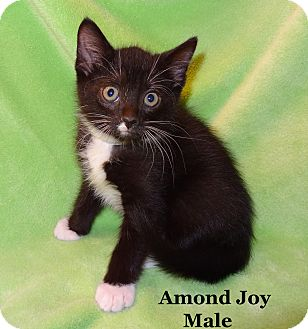 Domestic Shorthair Kitten for Sale in Bentonville, Arkansas - Almond Joy