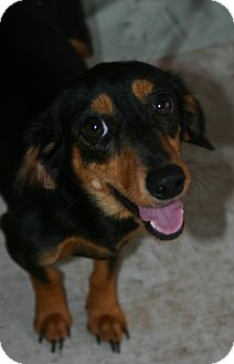 Dachshund Mix Dog for Sale in Oviedo, Florida - Lilly