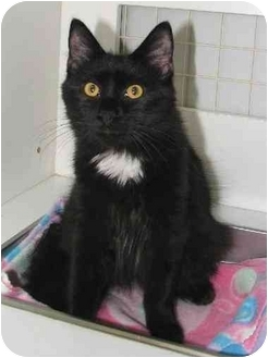 Domestic Longhair Cat for adoption in Waldorf, Maryland - Corterro