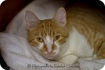 Domestic Shorthair Cat for adoption in Grand Rapids, Michigan - CJ (Charlie Jr)