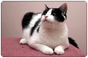 Domestic Shorthair Cat for Sale in Sterling Heights, Michigan - Bandit - ADOPTED!