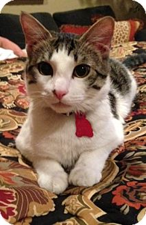 Domestic Shorthair Cat for Sale in Bentonville, Arkansas - Baby Rio