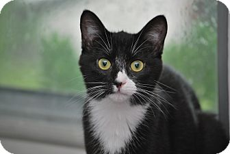 Domestic Shorthair Cat for adoption in Apex, North Carolina - Wingtip