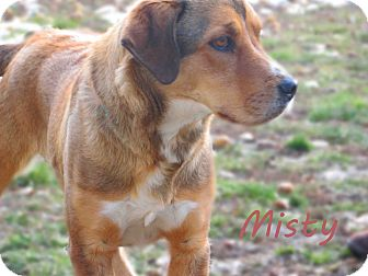 Shepherd (Unknown Type) Mix Dog for Sale in Hamilton, Montana - Misty