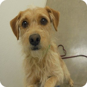 Terrier (Unknown Type, Small) Mix Dog for Sale in Phoenix, Arizona - Bowie