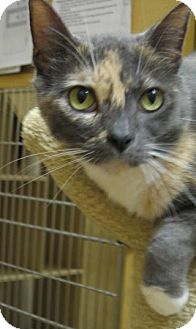 Domestic Shorthair Cat for adoption in Temple, Pennsylvania - Phebs