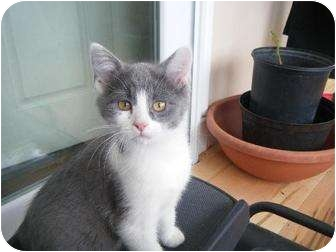 Domestic Shorthair Kitten for adoption in Jamestown, Ohio - MISSY
