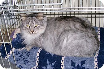 Domestic Mediumhair Cat for adoption in Tempe, Arizona - Sean