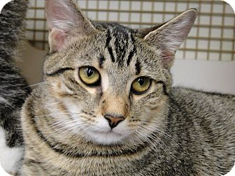 Domestic Shorthair Cat for adoption in Medford, New Jersey - Brownie - Belle&#39;s Kitten