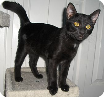 Domestic Shorthair Cat for Sale in Richmond, Virginia - Frisco