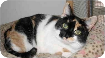 Calico Cat for adoption in Cincinnati, Ohio - Becca
