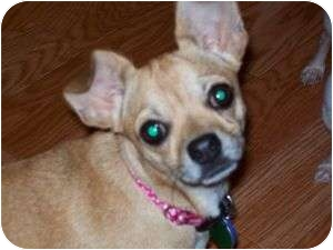 Chihuahua Mix Dog for adption in Edmond, Oklahoma - Chessie Belle