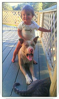 Pit Bull Terrier Dog for Sale in Atascadero, California - Bruce