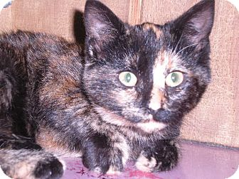 "Calico Cat for adoption in New Castle, Pennsylvania - "" Mara """