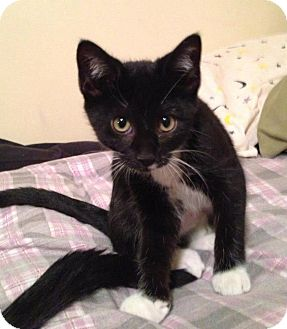 Domestic Shorthair Kitten for Sale in Chicago, Illinois - Pebbles