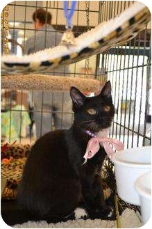 Domestic Mediumhair Cat for adoption in Chino, California - Lucy