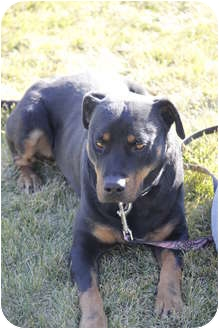 Rottweiler/American Pit Bull Terrier Mix Dog for Sale in Medicine Hat, Alberta - Trevor