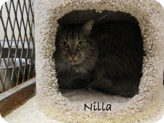 Maine Coon Cat for Sale in Hamilton, Montana - Nilla