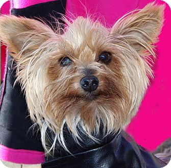 Yorkie, Yorkshire Terrier Dog for adption in Gilbert, Arizona - Willie