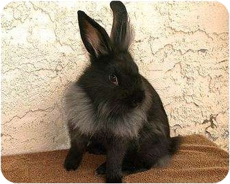 Lionhead Mix for adoption in Phoenix, Arizona - Latte