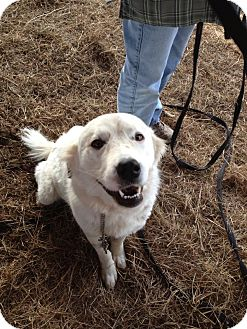 Great Pyrenees Mix Dog for Sale in Stilwell, Oklahoma - Appy