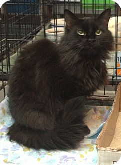 Domestic Longhair Cat for adoption in Westfield, Massachusetts - Simone