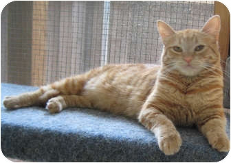 Domestic Mediumhair Cat for adoption in Sherman Oaks, California - Poppy