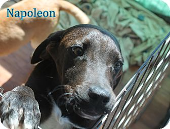 Labrador Retriever/Spaniel (Unknown Type) Mix Puppy for Sale in Dry Branch, Georgia - Napoleon
