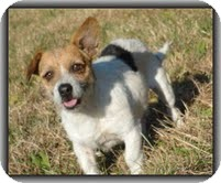 Wirehaired Fox Terrier/Jack Russell Terrier Mix Dog for Sale in Hagerstown, Maryland - Charlie