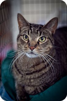 Domestic Shorthair Cat for adoption in Chicago, Illinois - Timbuktu