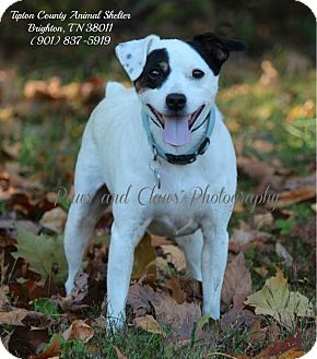 Jack Russell Terrier Mix Dog for adption in Barrington, Rhode Island - Bandit (TIP)