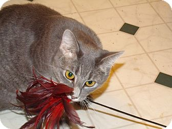 Domestic Shorthair Cat for adoption in Scottsdale, Arizona - so soft 1yr silver Puff