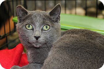 Russian Blue Kitten for Sale in santa monica, California - Wendal